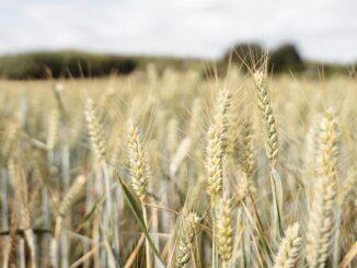 Du kan bl.a. handle med råvarefutures indenfor hvede og andre kornsorter